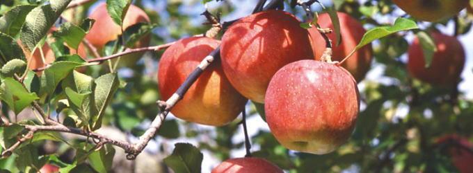 善光寺 門前みそ すや亀/豊野のサンふじ畑になるりんご